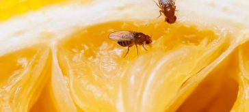 fruit flies in the house
